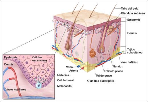 Los anexos cutáneospiel | pelo | glandulas | uñas | sebo | foliculo ...