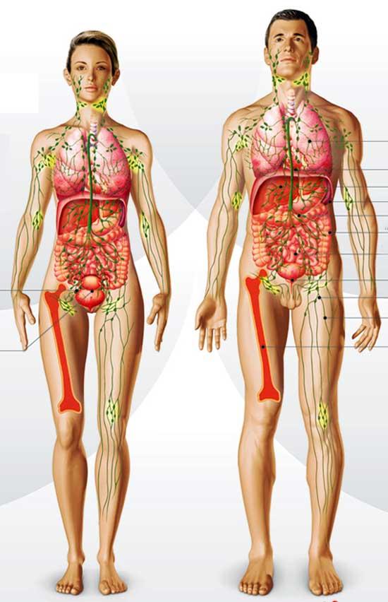 El sistema linfático | COSMETOLOGAS.COM - Belleza y estética profesional